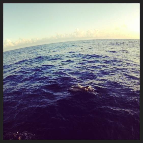 Vackra delfiner men svåra att fånga på bild!