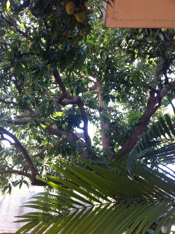 Mangoträd