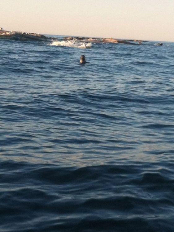 Inga havssköldpaddor, men sälarna var lika nyfikna